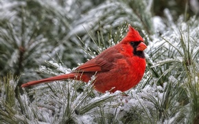 Picture red, bird, cardinal