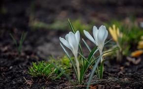 Picture snowdrops, Krokus, bokeh, saffron, white flower