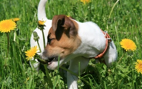 Picture dogs, grass, joy, mood, dog, puppy, walk, dandelions, Jack Russell Terrier