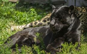 Picture light, stay, predator, Panther, lies, wild cat, black Jaguar