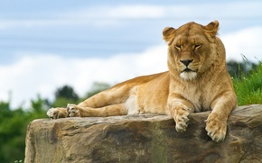 Picture cat, stay, stone, lioness