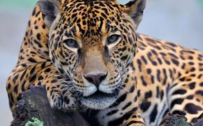 Picture face, paw, lies, Jaguar, looks