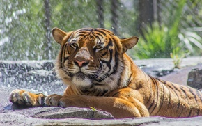 Picture tiger, predator, zoo, wild cat, bathing, face, paws