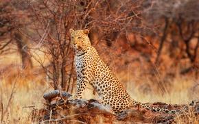 Picture leopard, wildlife, Queen of the Bush