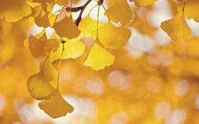 Picture leaves, glare, tree, branch, Ginkgo