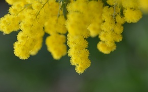 Picture nature, tree, branch, spring, yellow, flowering, flowers, acacia