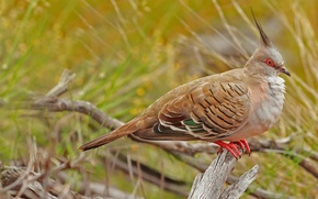 Picture nature, bird, Australia, Uluru-Kata Tjuta National Park, crested pigeon