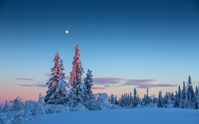Picture winter, forest, the sky, snow, trees, the moon, the evening