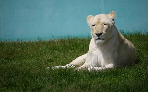 Picture cat, grass, stay, white, lioness