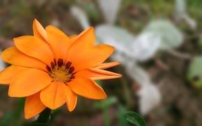 Picture flower, orange, petal, blurred