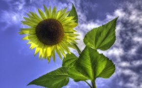 Picture flower, the sky, leaves, clouds, sunflower