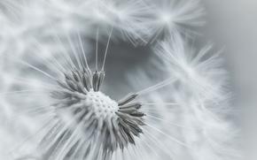 Picture flower, macro, dandelion, plant, focus, black and white, fuzzes