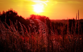 Picture field, grass, sunset, the evening, ears