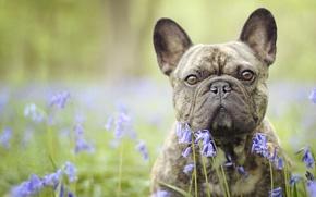 Picture dog, flowers, look, bulldog, face, bokeh, bells, French bulldog