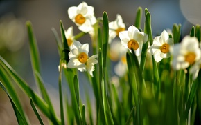 Picture leaves, flowers, spring, Sunny, flowering, daffodils