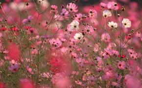 Wallpaper field, macro, flowers, pink, kosmeya