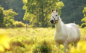 Picture horse, horse, meadow