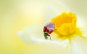 Picture PETALS, FLOWER, INSECT, LADYBUG, NARCISSUS