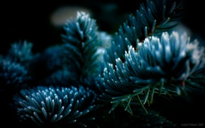 Picture Tree, Needles, Spruce, Frosty Tree