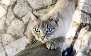 Picture cat, mustache, animal, legs, shadow, blue eyes, Siamese