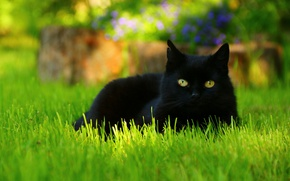 Picture greens, cat, summer, grass, eyes, cat, look, face, flowers, background, lawn, glade, black, portrait, lies, …