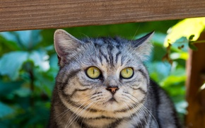 Picture cat, eyes, cat, mustache, look, face, grey, green, striped