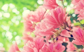 Picture flowers, spring, pink