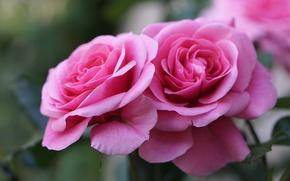 Wallpaper macro, pink, roses
