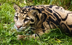 Picture grass, look, face, stay, clouded leopard