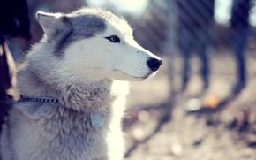 Picture look, face, Park, dog, husky, dog, husky