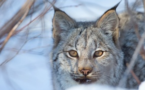 Picture look, face, lynx, wild cat