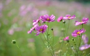 Picture field, macro, flowers, focus, petals, blur, pink, buds, raspberry, Kosmeya
