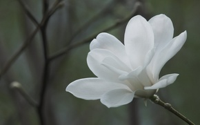Picture flowers, macro, background, branch, white, flower, Magnolia, branches, spring
