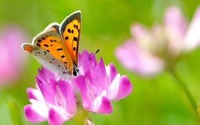 Picture flower, summer, macro, nature, pink, butterfly, clover, insect, bright
