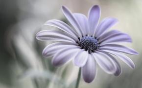 Picture flower, macro, petals, Daisy, Cape Daisy