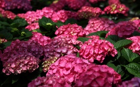 Wallpaper macro, hydrangea, flowers. Bush