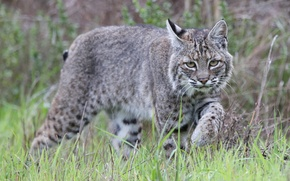 Picture grass, grey, lynx