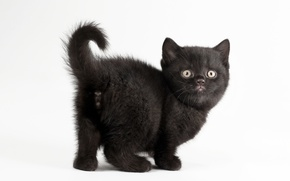Picture cat, white background, kitty, black cat