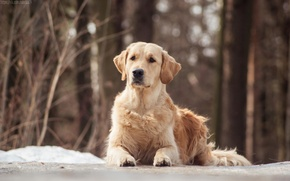 Picture dogs, dog, Golden Retriever