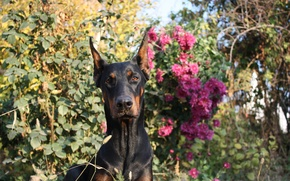 Picture dog, flowers, beauty, sunny day, Shelby Cobra iz Zoosfery, doberman, Shelby Cobra of Zoosfery, dogs …