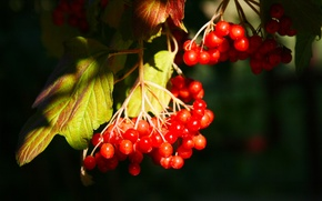 Picture leaves, berries, bunch, Kalina
