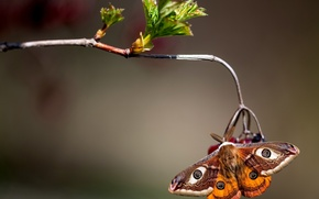 Picture macro, butterfly, branch, Small Emperor moth