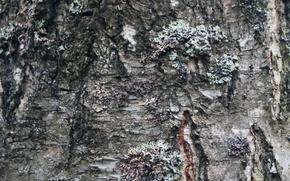 Picture tree, Bark, birch, texture