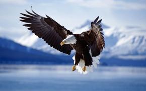 Wallpaper animals, birds, wings, bird, animal photos, eagle, the eagles