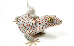 Wallpaper background, lizard, Tokay gecko