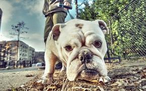 Picture look, face, street, dog, bulldog, walk, English bulldog