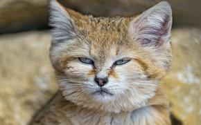 Picture cat, face, sandy the cat, ©Tambako The Jaguar, sand cat