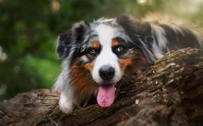 Picture dog, look, Aussie, log, Australian shepherd, face, language