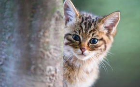 Picture cat, cat, kitty, looks, Kote