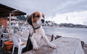 Picture dog, chain, puppy, promenade, Beagle